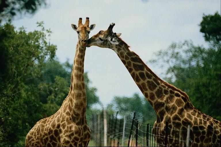 сафари парк Хайнань жираф