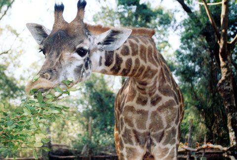 жираф в Сафари-парк